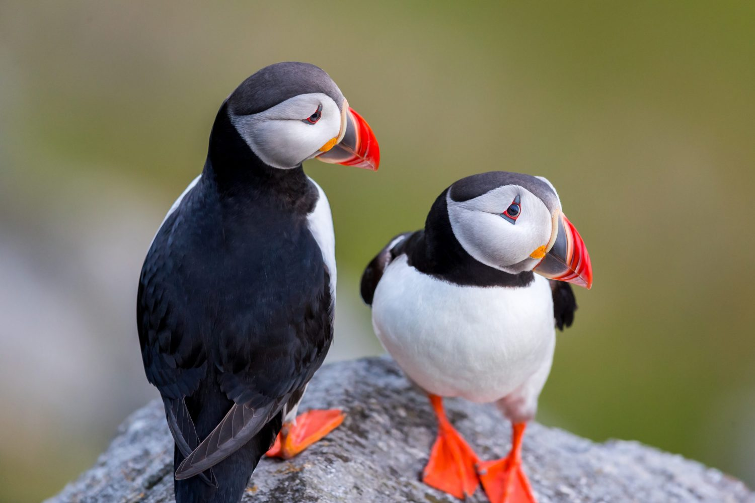 Puffin love on the cliff at Runde Norway